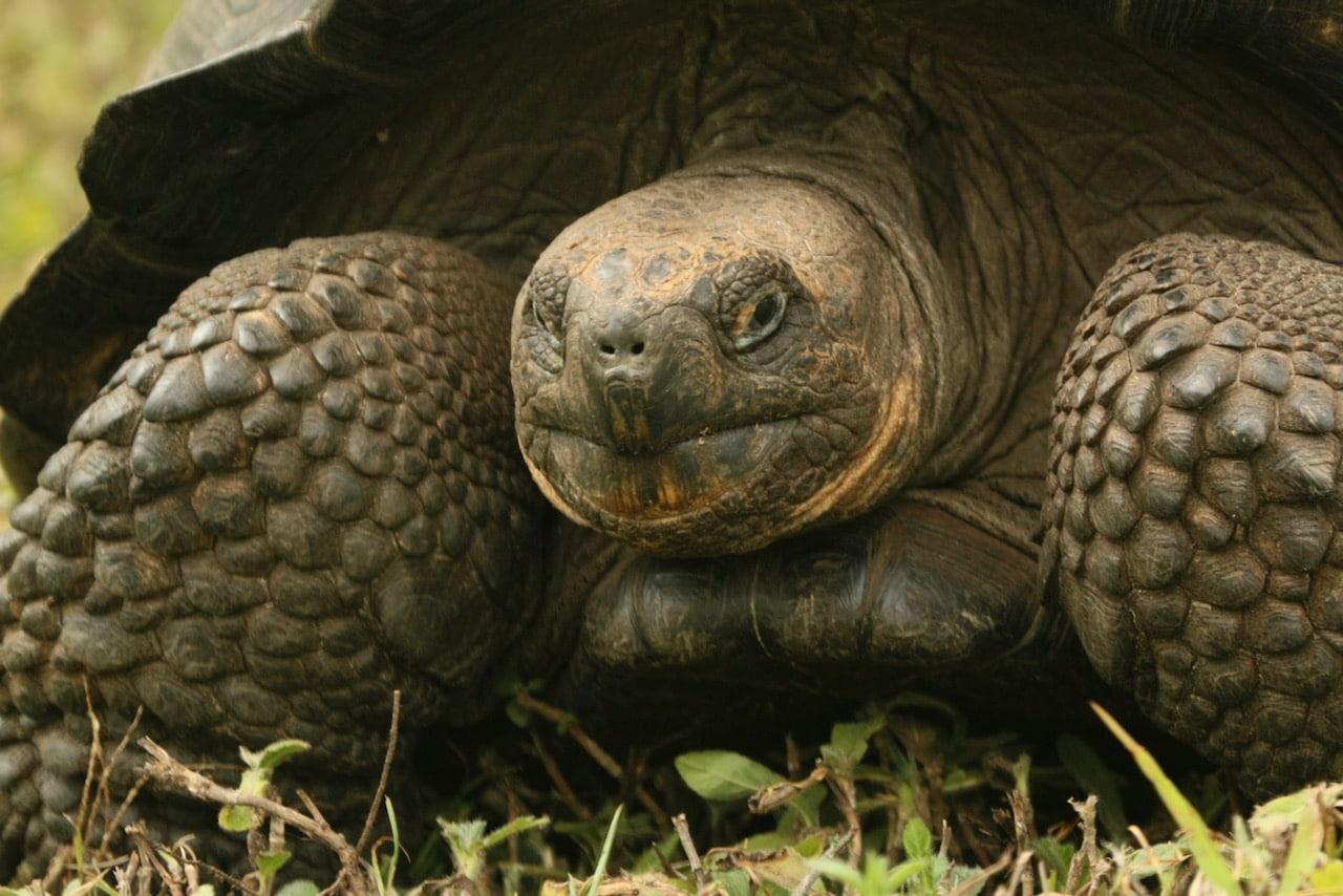 galapagos tortoise © dan ilves