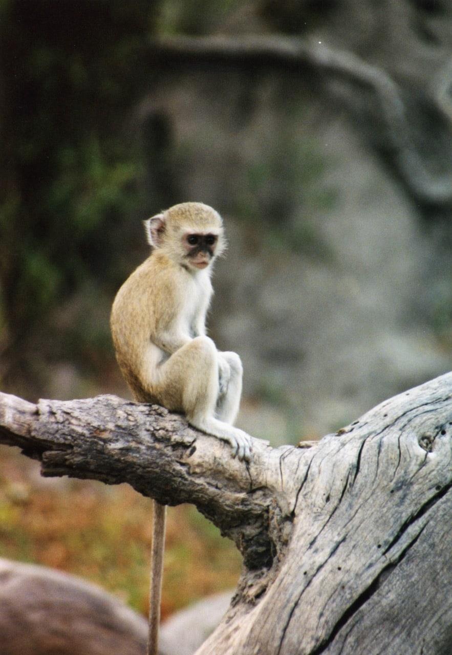 monkey, south africa © dan ilves