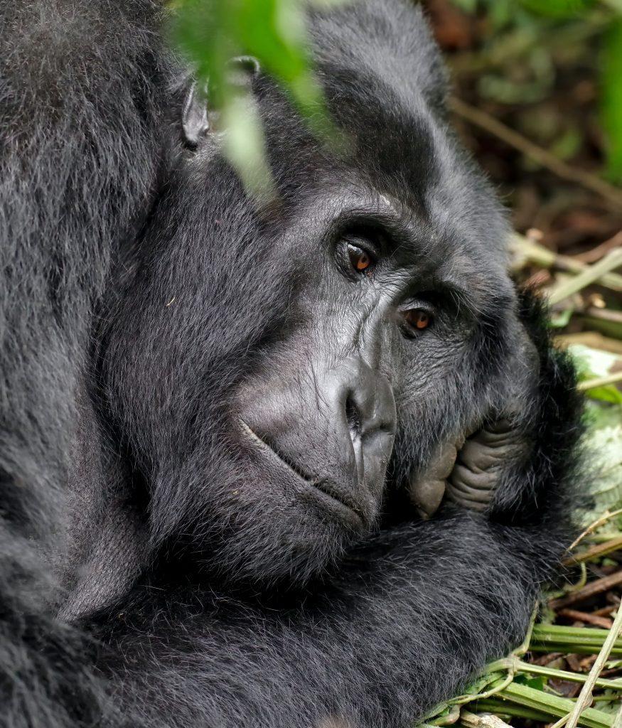 gorilla on Rwanda gorrila safari trek